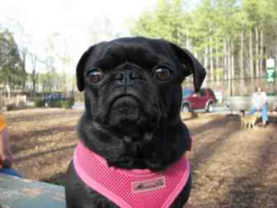 Picture of my dog Gabby, a black pug